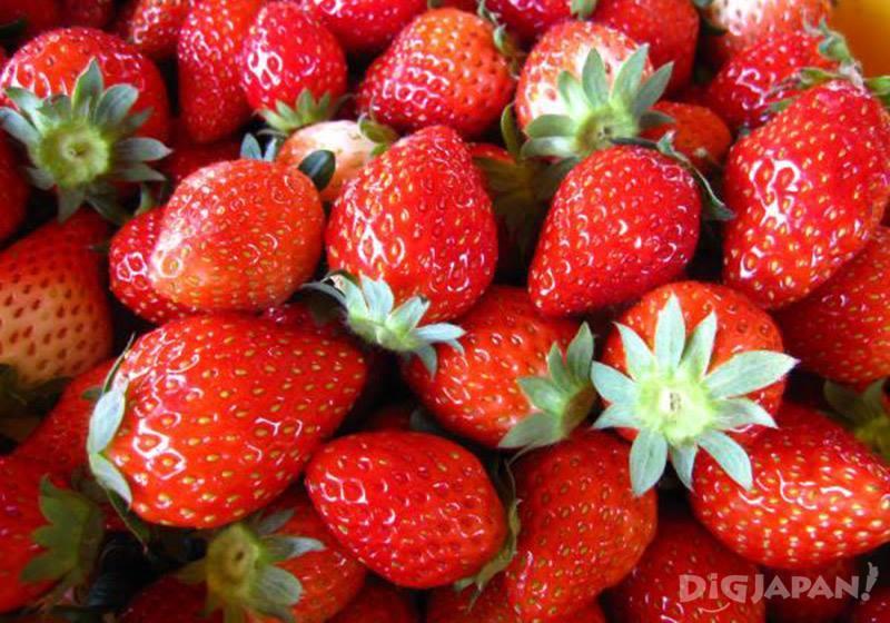笠間體驗摘草莓