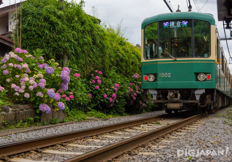 Enoshima Railway train in front of Goryo Shrine, with hydrangeas