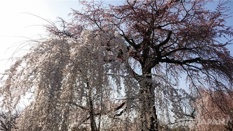 圓山公園櫻花1