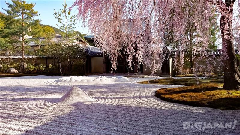 高台寺櫻花1