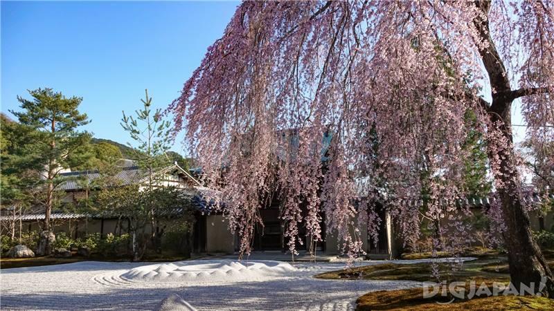 高台寺櫻花2