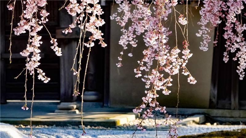 高台寺櫻花3