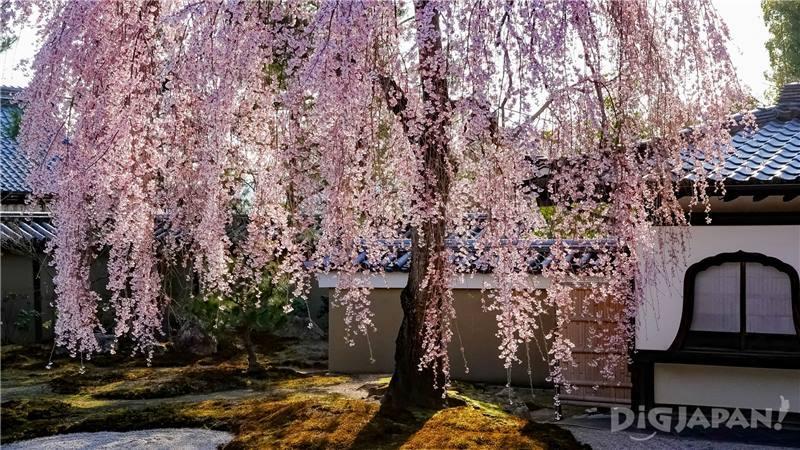 高台寺櫻花6