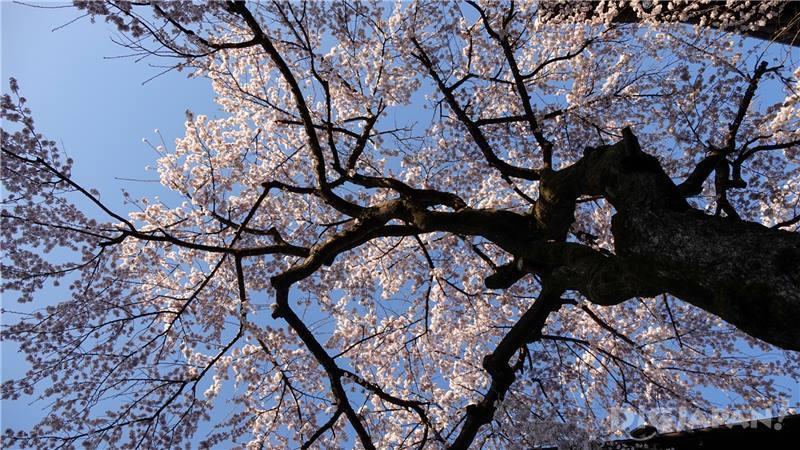 滿開的櫻花1