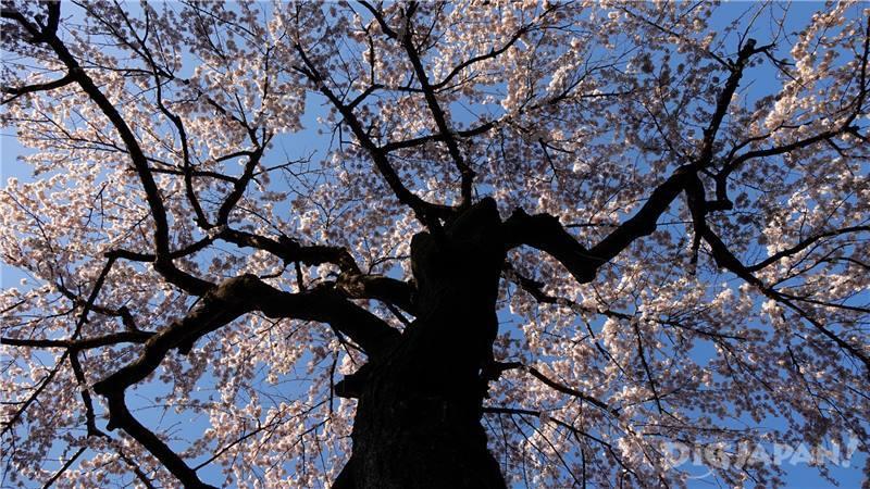 滿開的櫻花2
