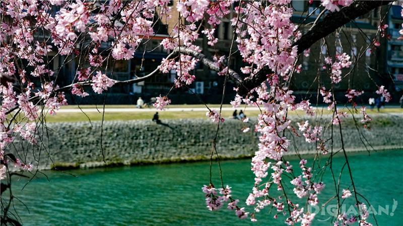 鴨川和櫻花1