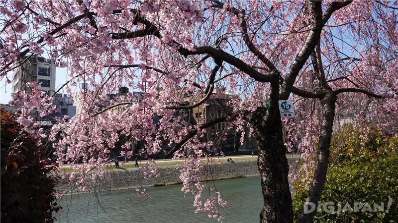 鴨川和櫻花2