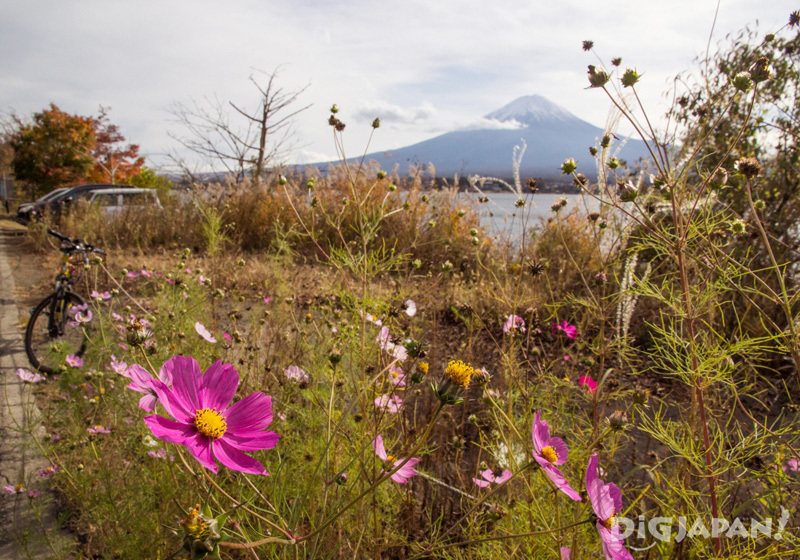 Cosmos flowers and Mount Fuji
