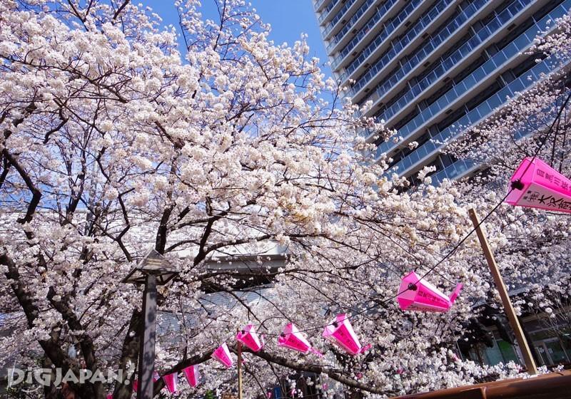目黒川の桜とぼんぼり