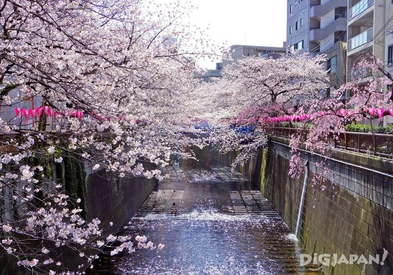 トンネルのような目黒川の桜