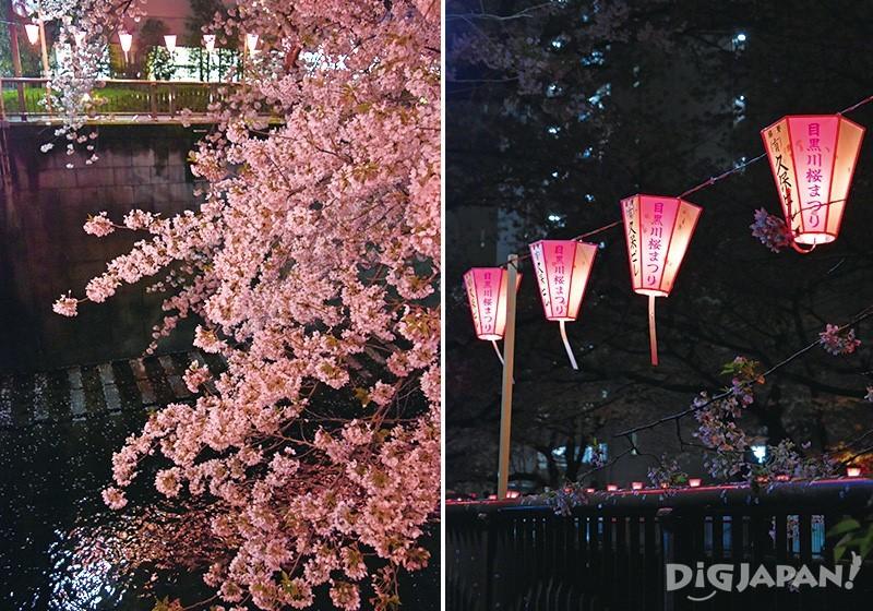 ぼんぼりの優しい灯りに照らされる桜