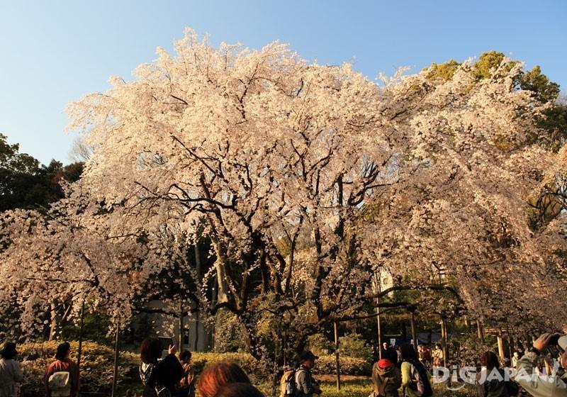六義園の桜 夕方のようす