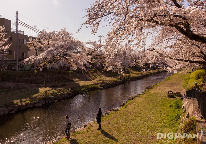 Sakura along the No River in Chofu, Tokyo