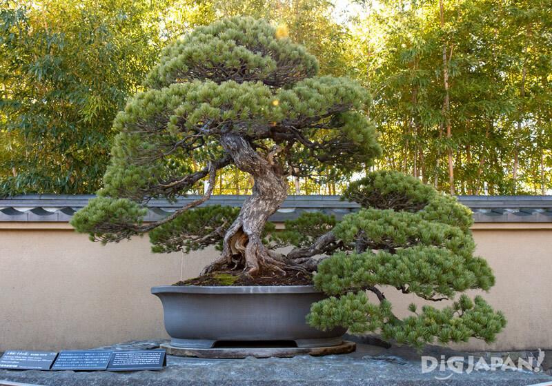 Chiyo-no-matsu white pine