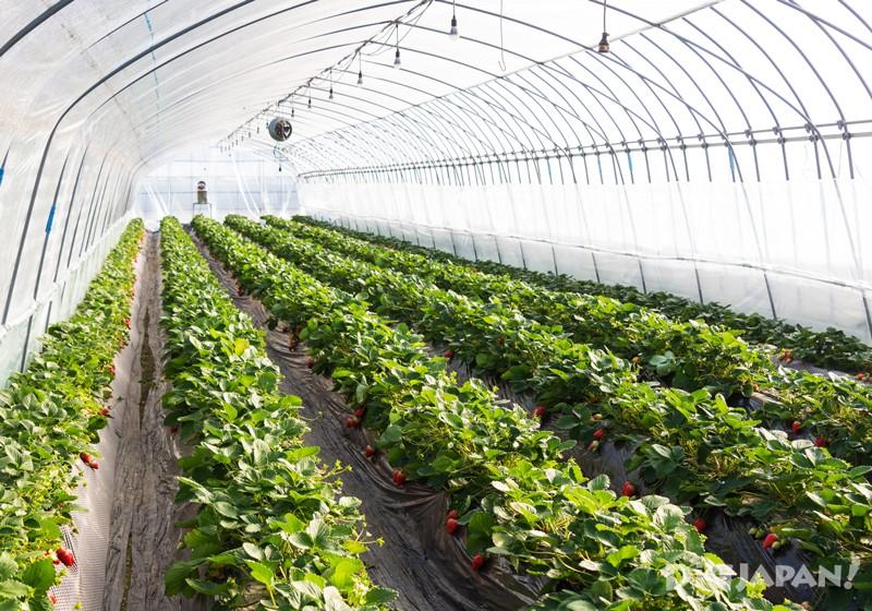 天空莓溫室大棚