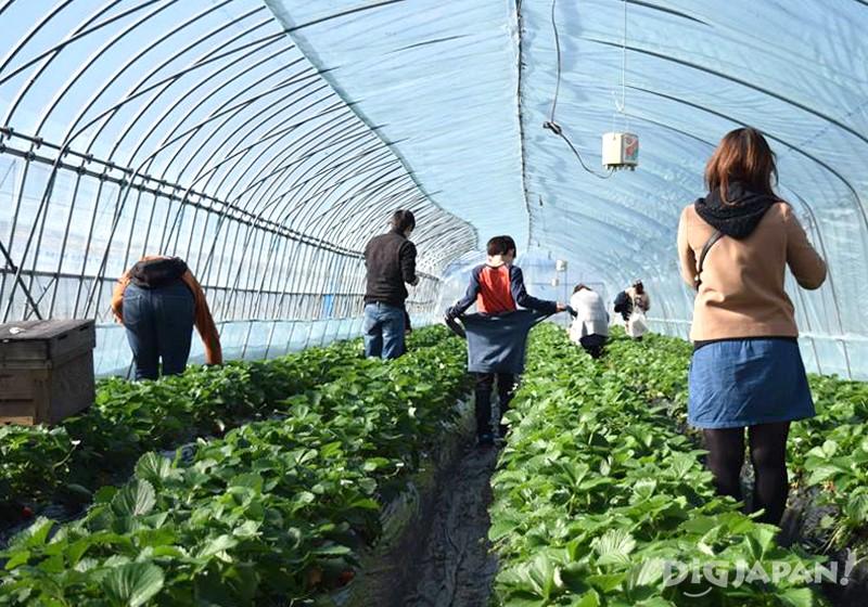 天空莓溫室大棚採草莓