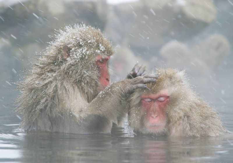 monkeys bathing in hot springs