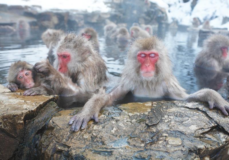 地獄谷野猿公苑 温泉でくつろぐニホンザル1