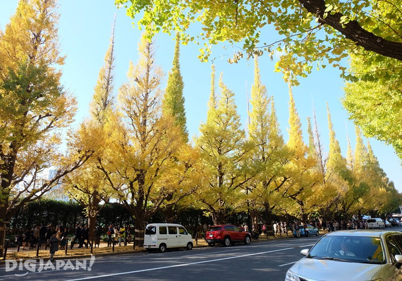 The beautiful Ginkgo tree avenue