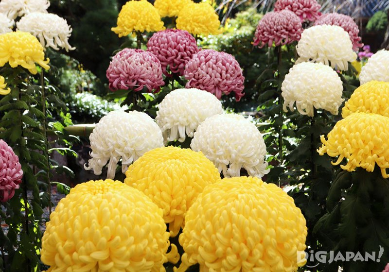 2019 Chrysanthemum Festival at Kasama Inari Shrine