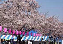 วันที่ 6-7 เมษายน: เทศกาลชิบะมาตะซากุระ