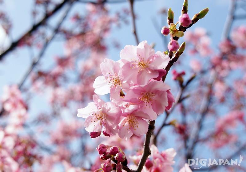 Kawazu-zakura, the early blooming cherry blossoms