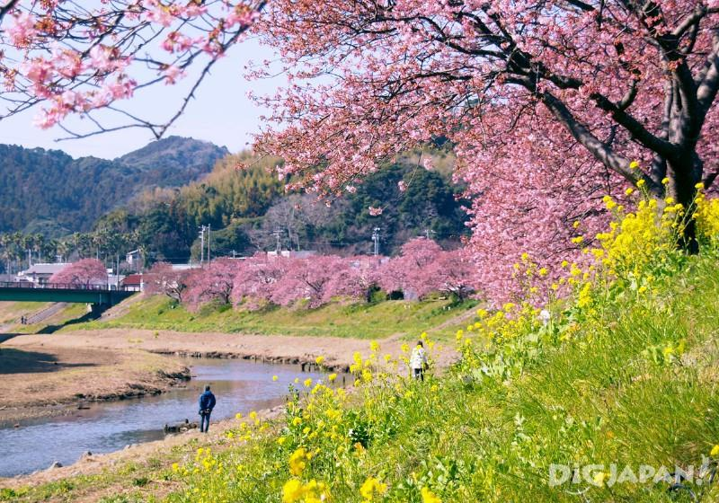 Sakura along the Aono River