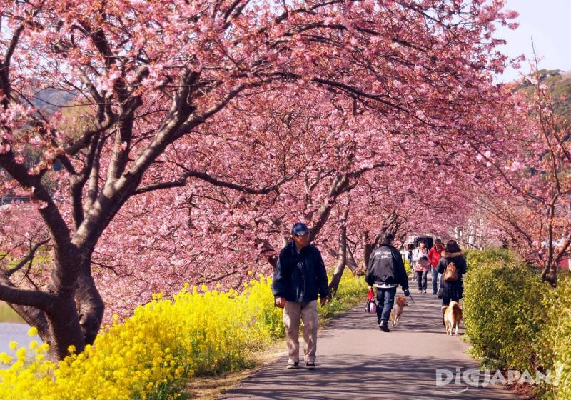 Sakura and rapeseed flower promenade