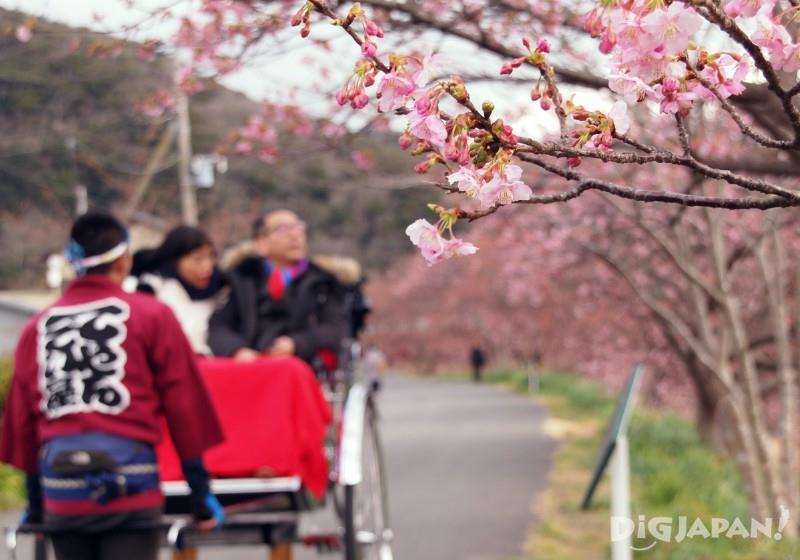 Rickshaw and sakura