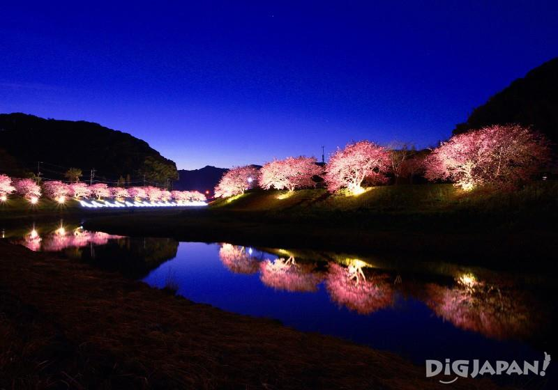Night cherry blossom illumination