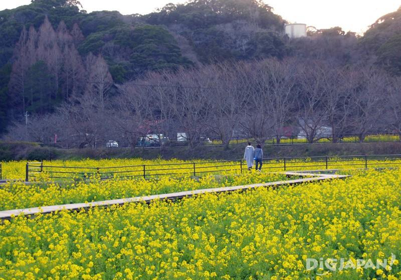 Rapeseed flower field at Minamiizu-cho