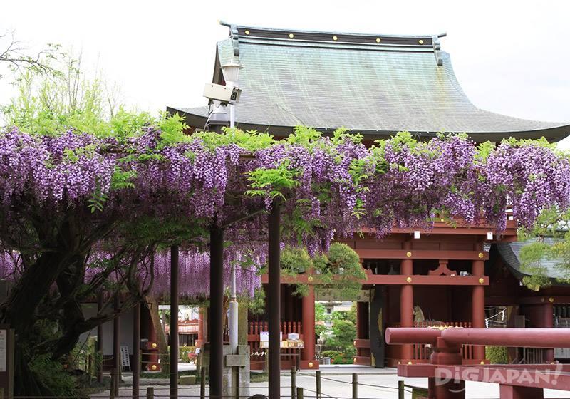 笠間稻荷神社的紫藤花