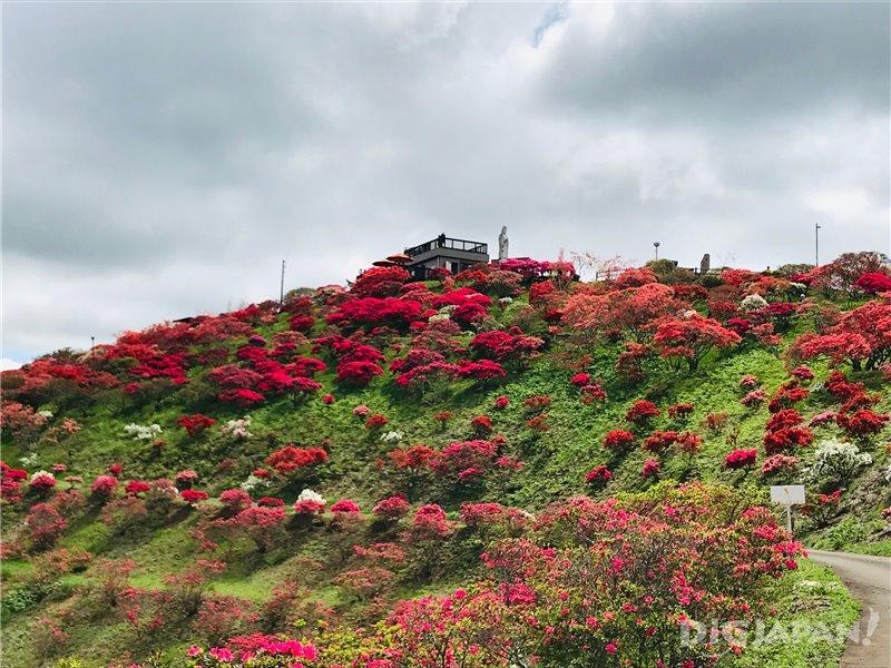 A Spectacular Sea of Azaleas! Kasama Tsutsuji Park