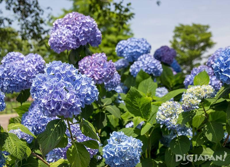 東京都立水元公園のはなしょうぶ園