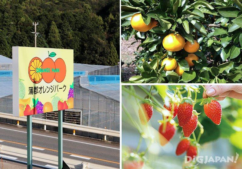 一整年都可以採收水果的蒲郡橘子公園