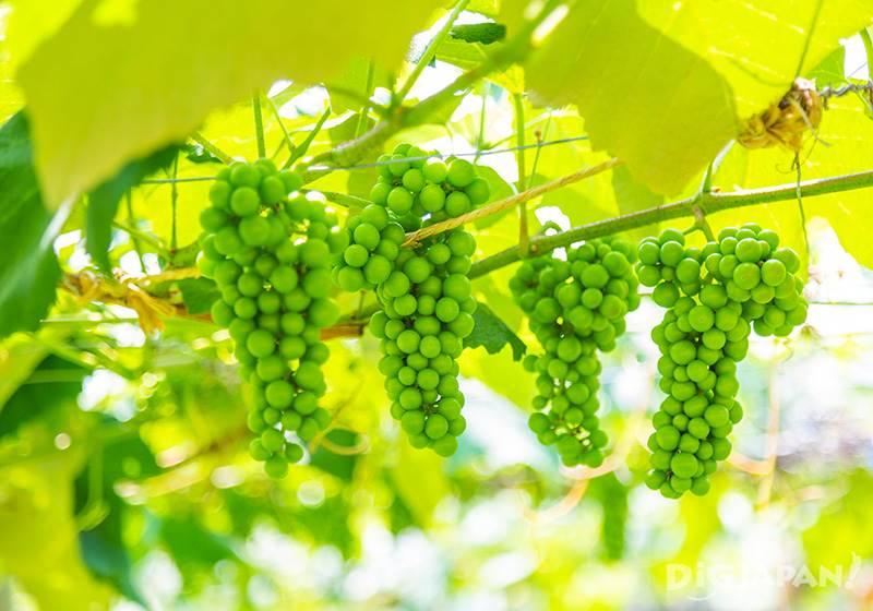 Wine grapes like Pinot Noir and Chardonnay