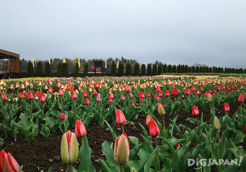 山中湖花の都公園_チューリップ2