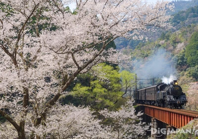 大井川鐵道沿線美しい桜とSL