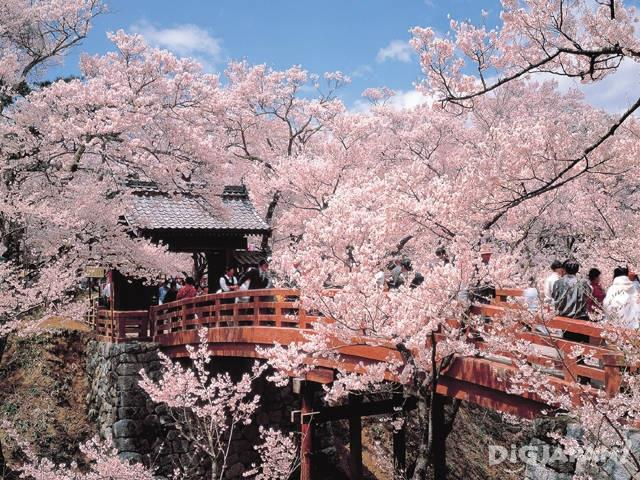 Sakura at Takato Castle Ruins Park in Nagano